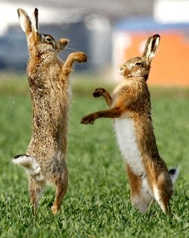100312.rabit-fight.jpg
