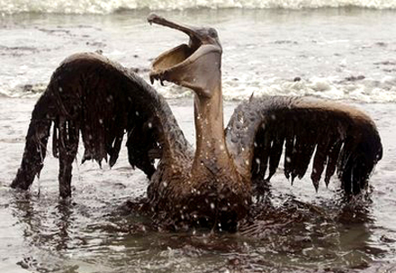 100601.brown-pelican.jpg