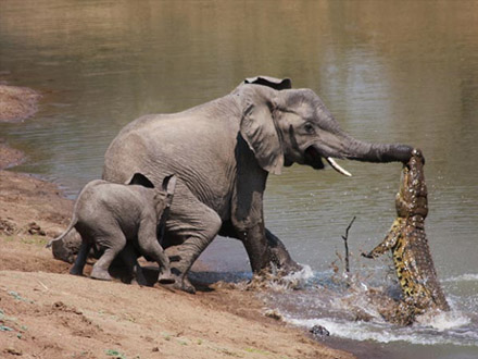 101124.elephant-vs-alligator.jpg