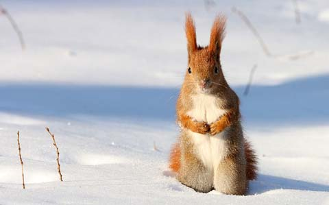 110235.red-squirrel-snow-poland.jpg