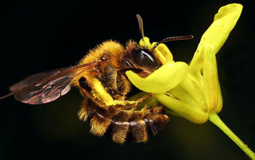 110421.bees-pollen-transmitted-diseases-virus.jpg