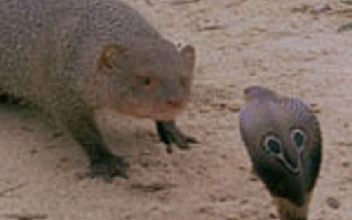 110521.cobra-vs-mongoose.jpg
