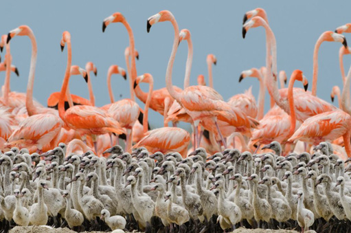 120327.flamingo-chicks.jpg