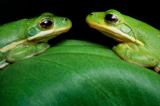 120705.green-frogs.jpg