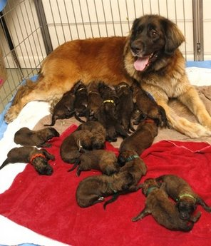091121.dog-with-her-18puppies.jpg