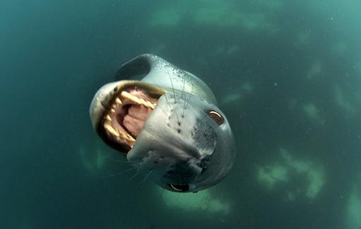 ヒョウアザラシ(Leopard Seal)南極海の王者 - 壺 齋 閑 話