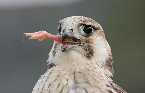 猛禽類の表情 - 壺 齋 閑 話
